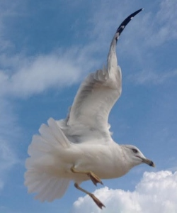 fly seagull