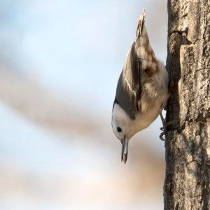 original nuthatch nature has no boss 01162015