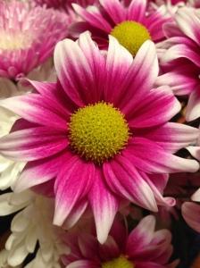 magenta flowers 041715