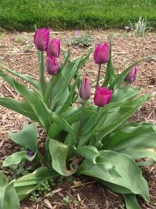 tulip photo 0418