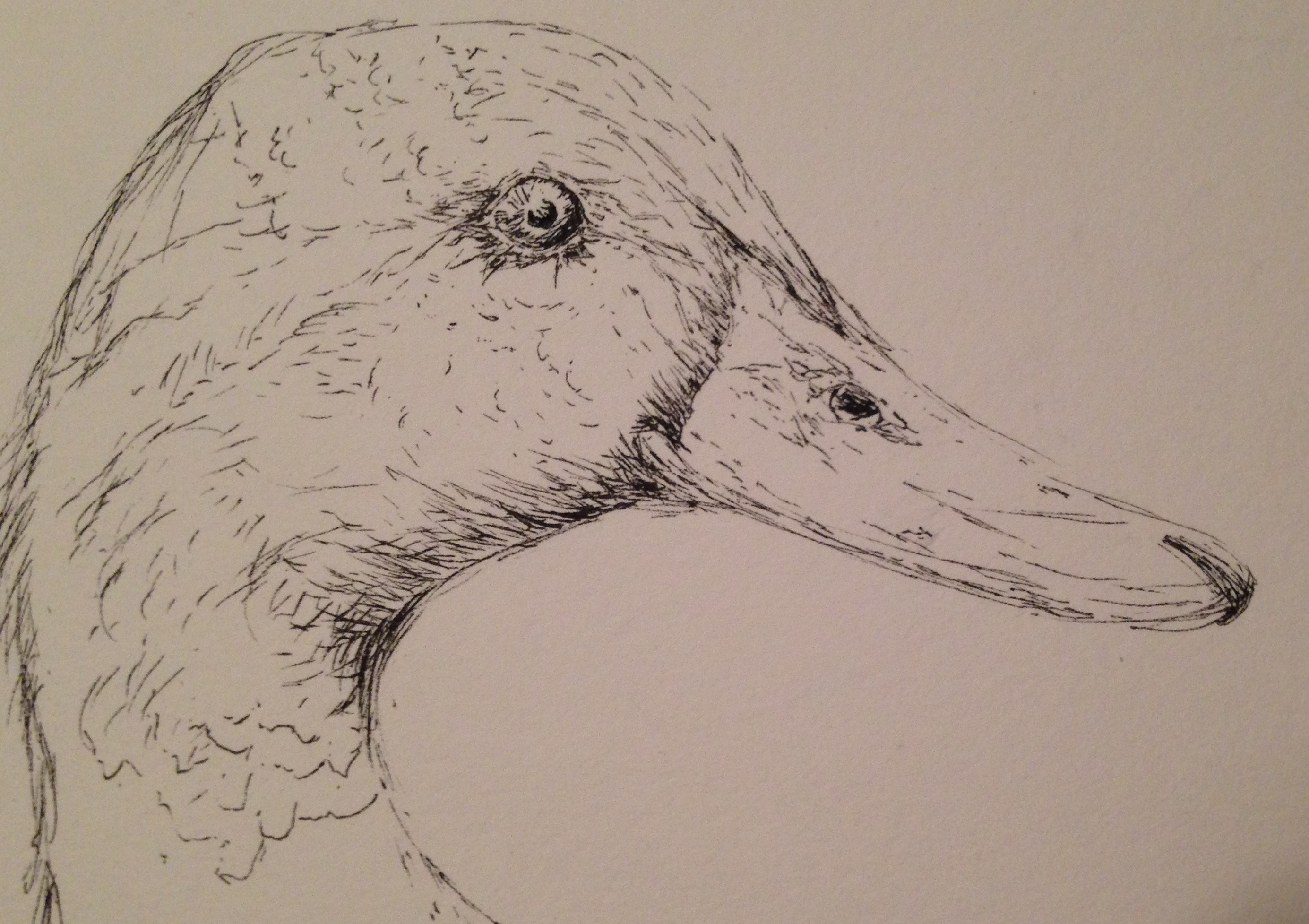 Mallard duck head drawing
